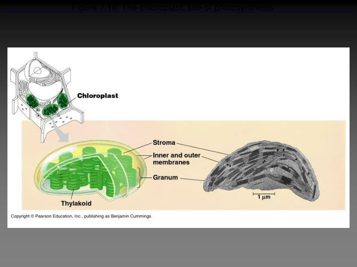 Figure 7.18  The chloroplast, site of photosynthesis