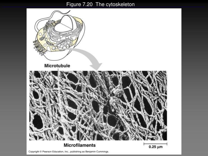 Figure 7.20  The cytoskeleton