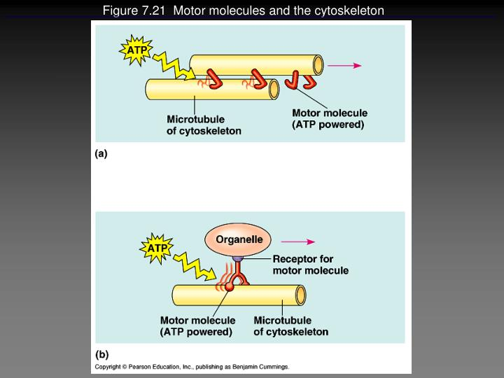 Figure 7.21  Motor molecules and the cytoskeleton