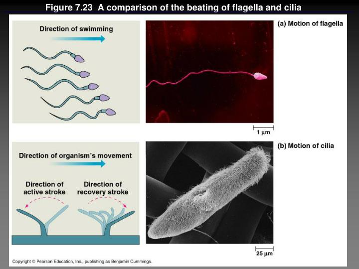 Figure 7.23  A comparison of the beating of flagella and cilia