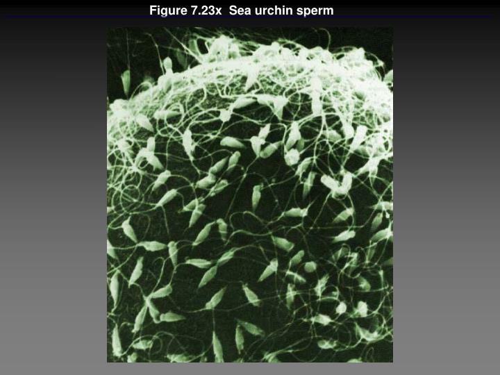 Figure 7.23x  Sea urchin sperm