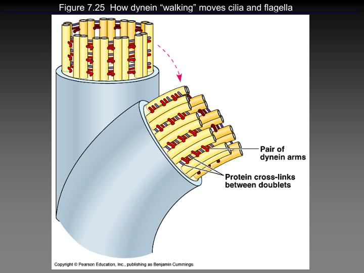 "Figure 7.25  How dynein ""walking"" moves cilia and flagella"