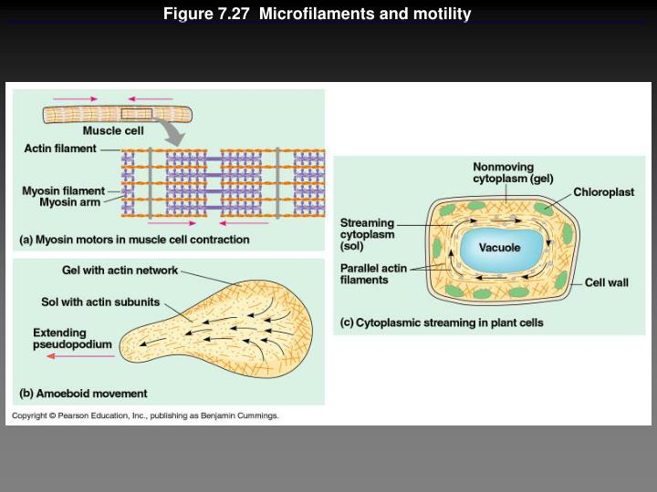 Figure 7.27  Microfilaments and motility