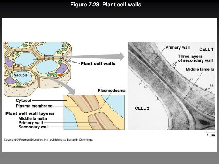 Figure 7.28  Plant cell walls