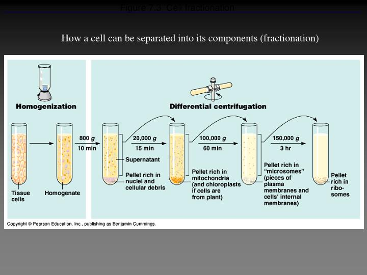 Figure 7.3  Cell fractionation