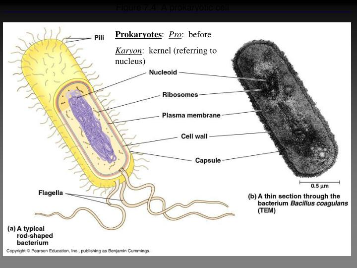 Figure 7.4  A prokaryotic cell