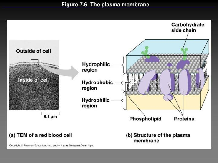 Figure 7.6  The plasma membrane