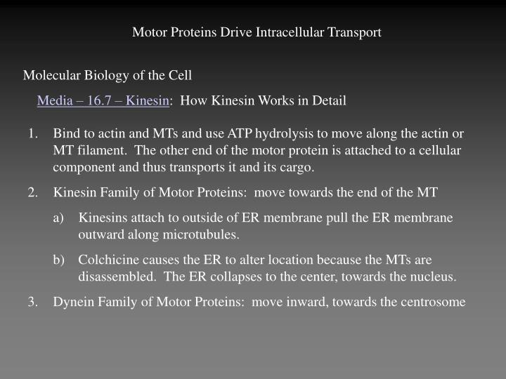 Motor Proteins Drive Intracellular Transport