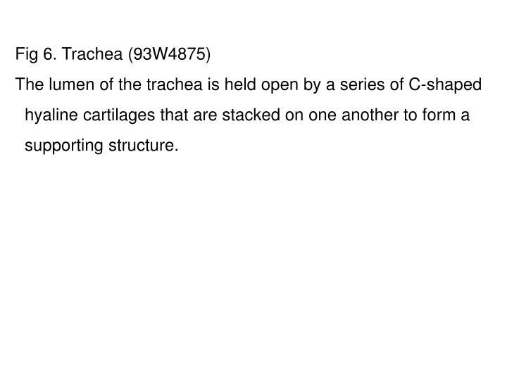 Fig 6. Trachea (93W4875)