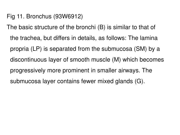 Fig 11. Bronchus (93W6912)