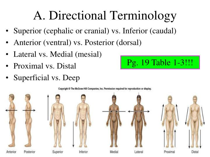 Lecture 1 Part 2 Introduction To Anatomical Directions And Orientation on dorsal and ventral planes