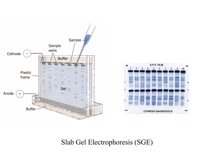 Slab Gel Electrophoresis (SGE)
