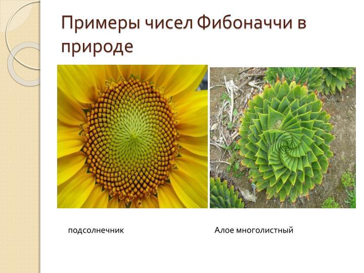 Примеры чисел Фибоначчи в природе