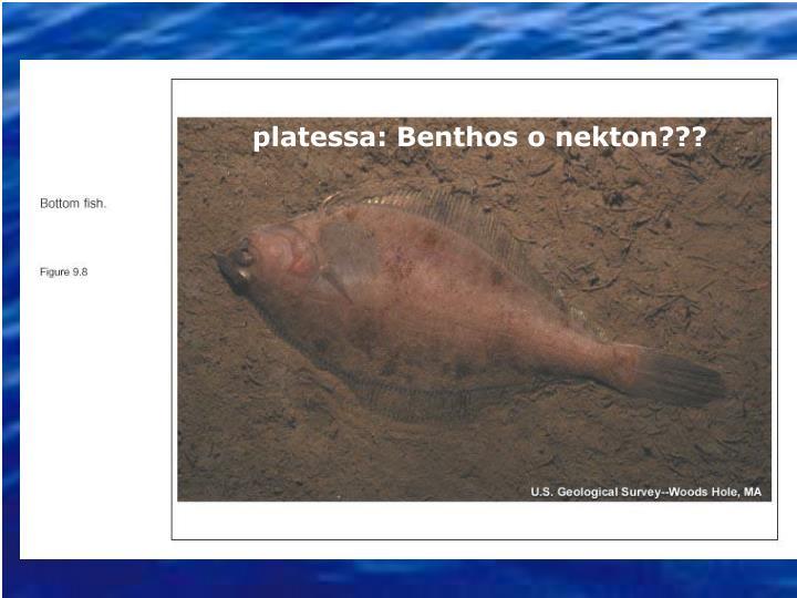 platessa: Benthos o nekton???