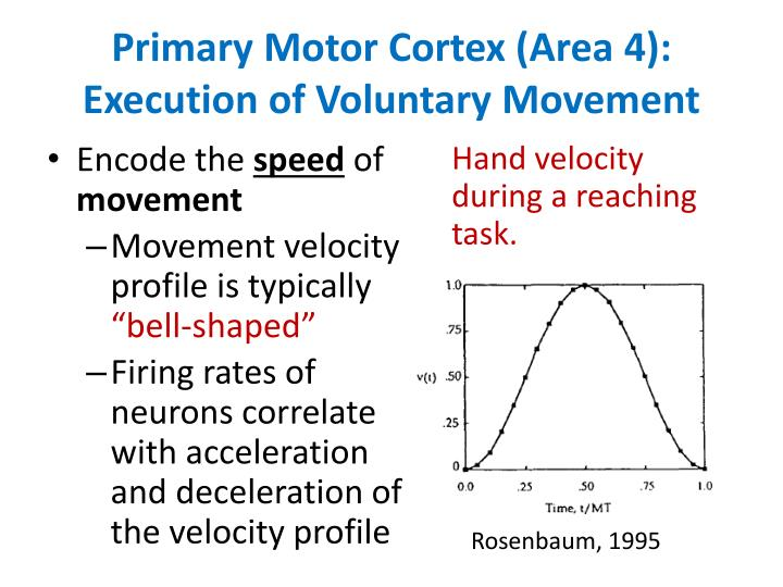 Primary Motor Cortex (Area 4): Execution of Voluntary Movement