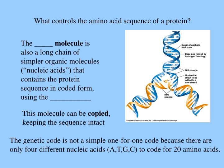 What controls the amino acid sequence of a protein?