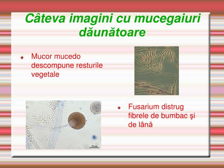 Câteva imagini cu mucegaiuri dăunătoare