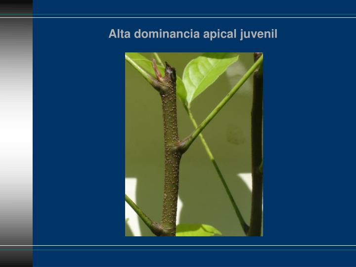 Alta dominancia apical juvenil