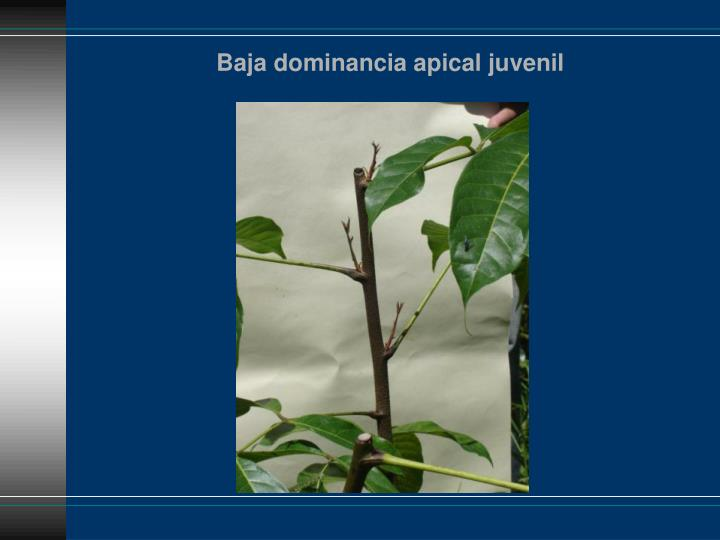 Baja dominancia apical juvenil