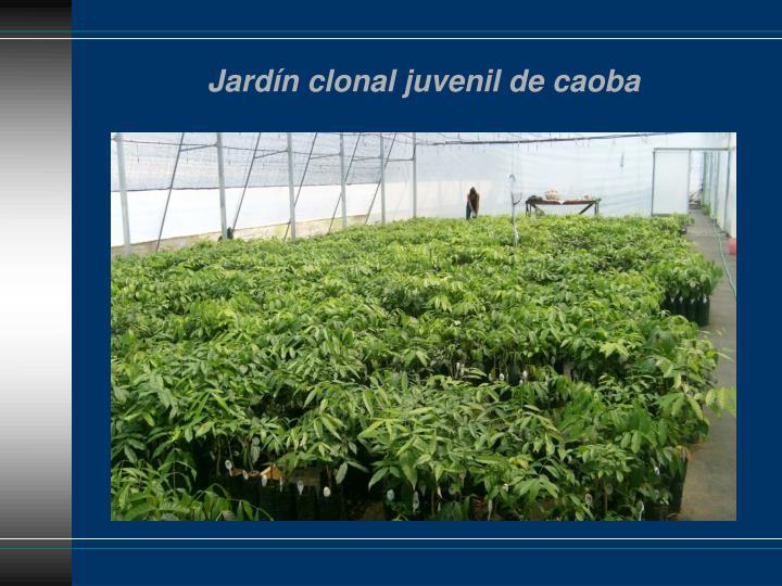 Jardín clonal juvenil de caoba