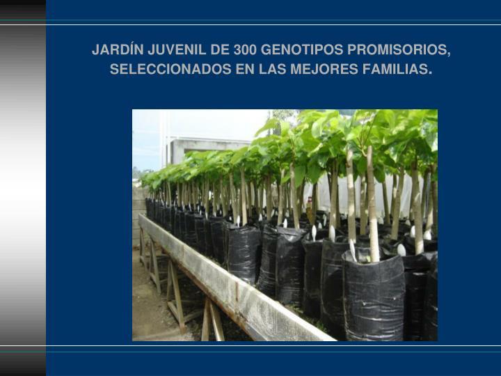 JARDÍN JUVENIL DE 300 GENOTIPOS PROMISORIOS, SELECCIONADOS EN LAS MEJORES FAMILIAS