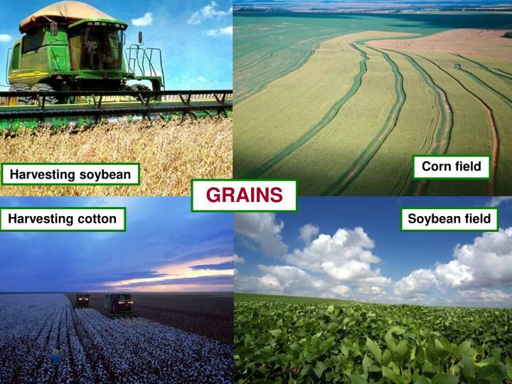 Corn field
