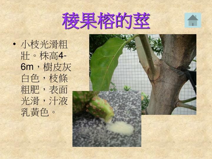 稜果榕的莖
