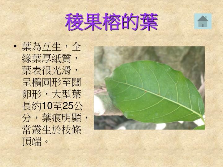 稜果榕的葉