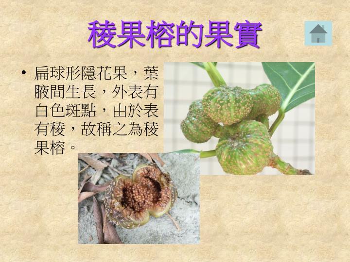 稜果榕的果實