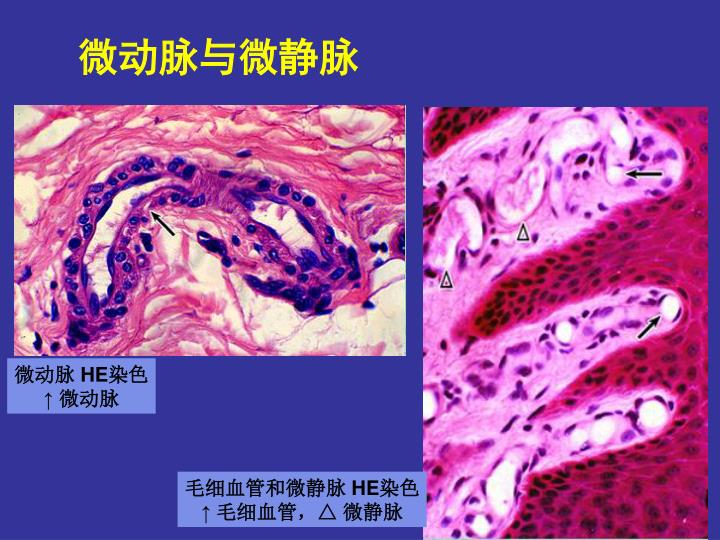 微动脉与微静脉