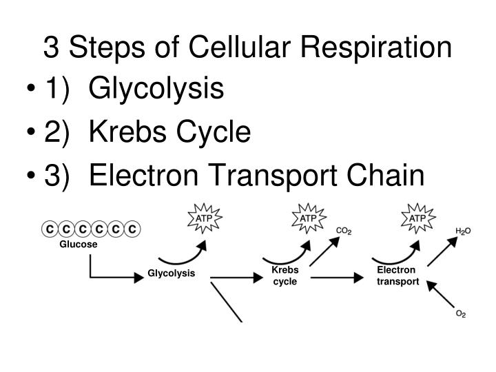 3 Steps of Cellular Respiration