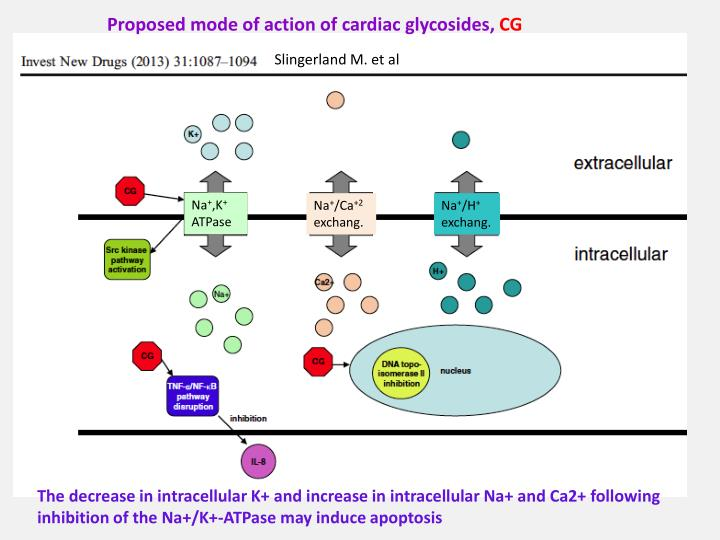 Proposed mode of action of cardiac glycosides,
