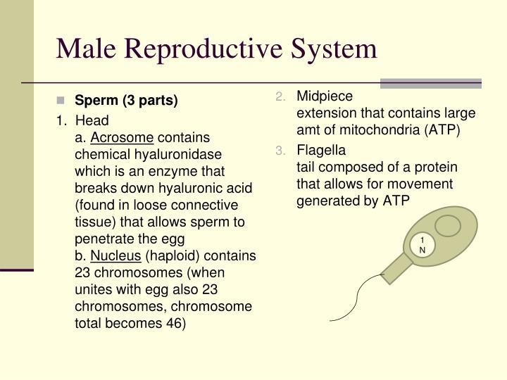 Sperm (3 parts)