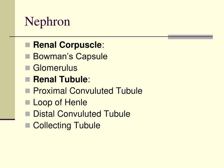 Nephron