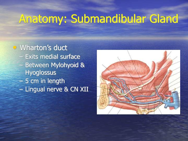 Anatomy: Submandibular Gland