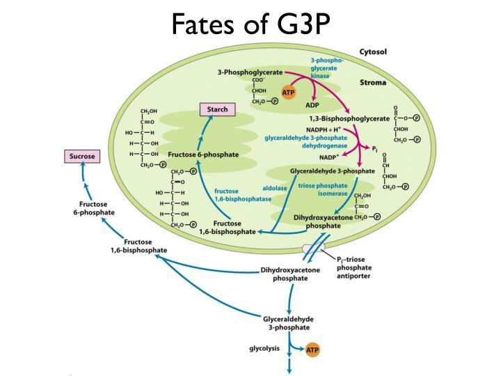 Fates of G3P