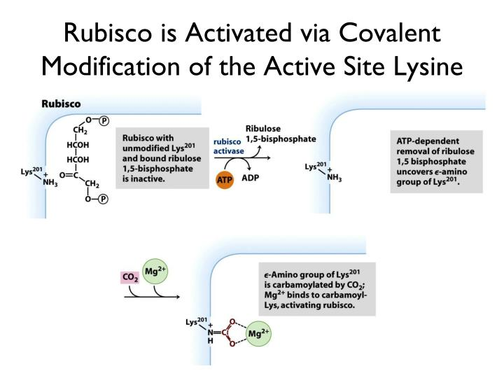 Rubisco is Activated via Covalent Modification of the Active Site Lysine