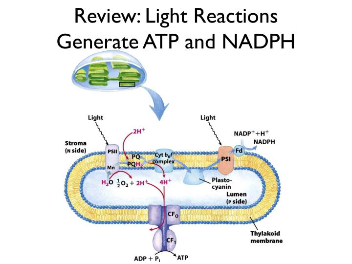 Review: Light Reactions Generate ATP and NADPH