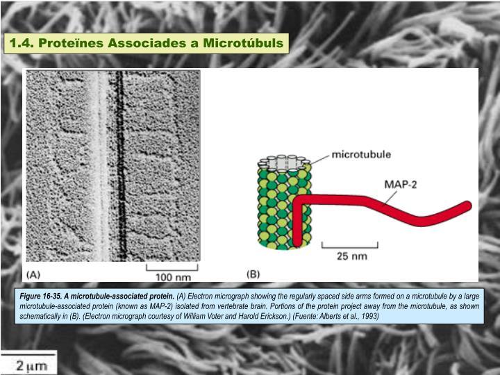 1.4. Proteïnes Associades a Microtúbuls