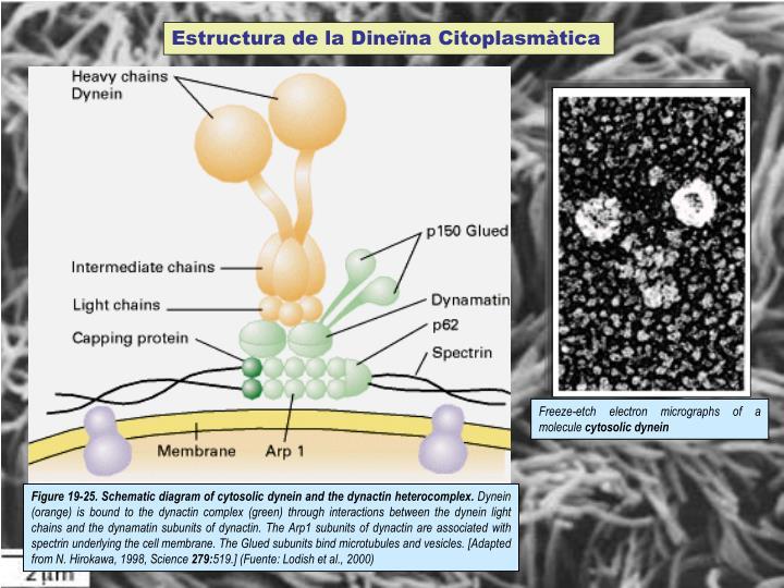 Estructura de la Dineïna Citoplasmàtica