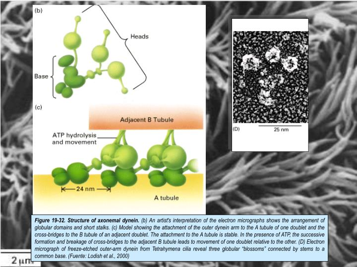 Figure 19-32. Structure of axonemal dynein.