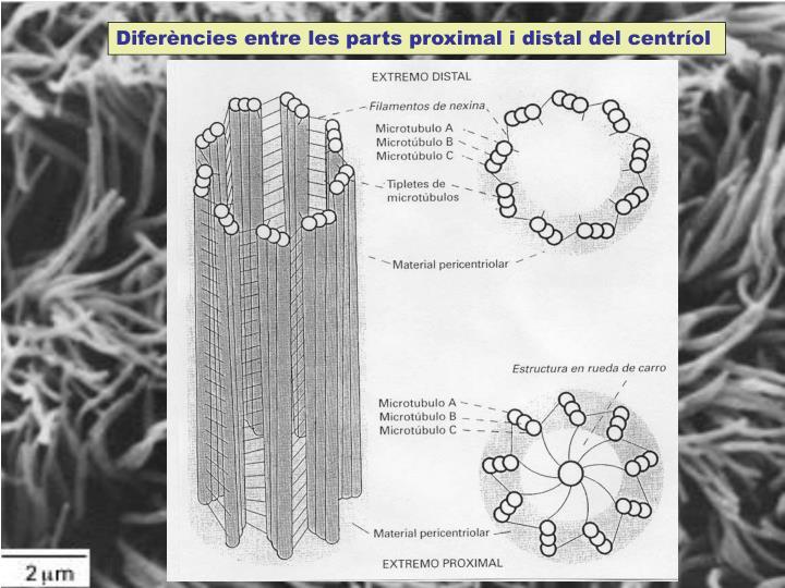 Diferències entre les parts proximal i distal del centríol