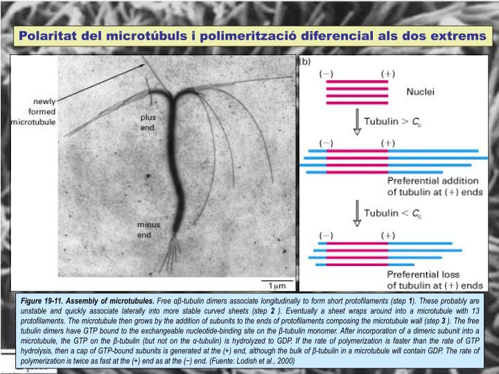 Polaritat del microtúbuls i polimerització diferencial als dos extrems
