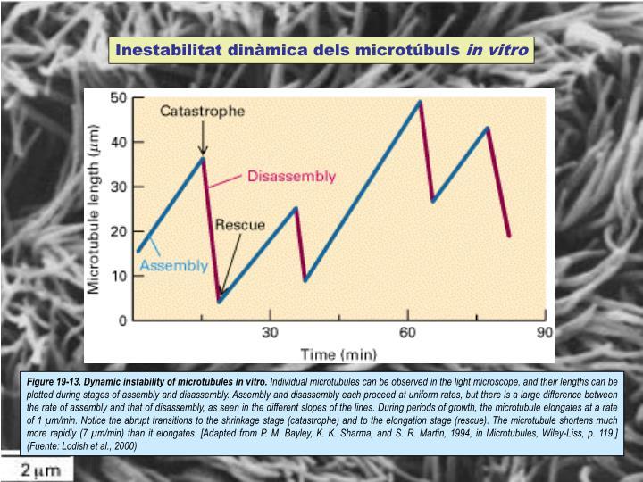 Inestabilitat dinàmica dels microtúbuls