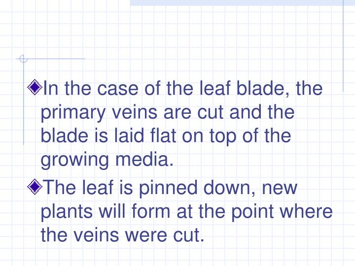 In the case of the leaf blade, the primary veins are cut and the blade is laid flat on top of the growing media.