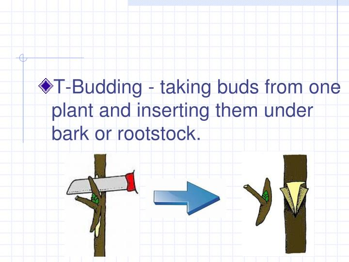 T-Budding - taking buds from one plant and inserting them under bark or rootstock.