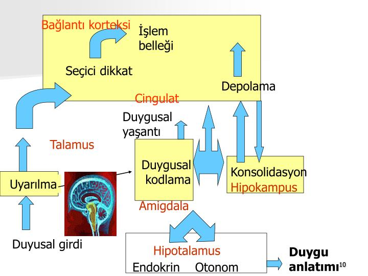 Bağlantı korteksi