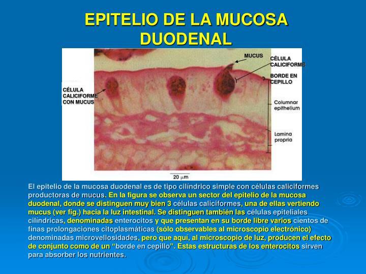 EPITELIO DE LA MUCOSA DUODENAL