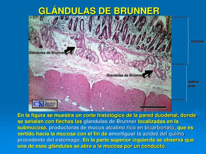 GLÁNDULAS DE BRUNNER