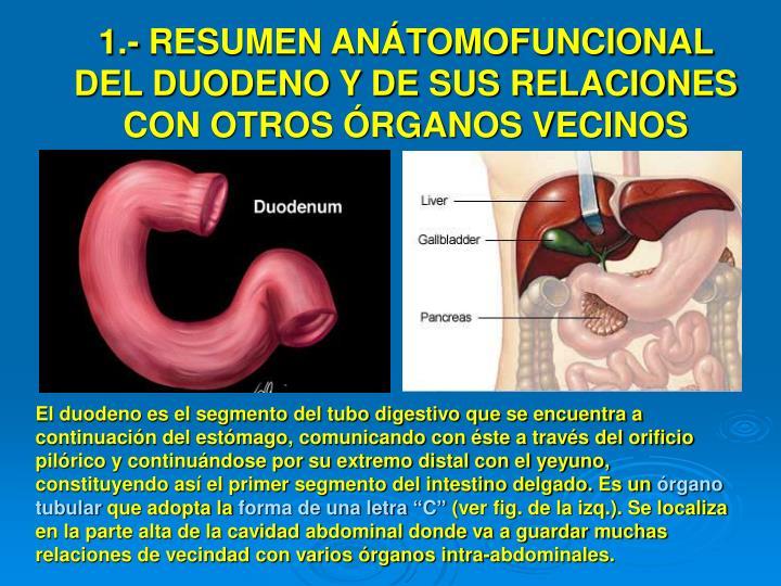 1.- RESUMEN ANÁTOMOFUNCIONAL DEL DUODENO Y DE SUS RELACIONES CON OTROS ÓRGANOS VECINOS